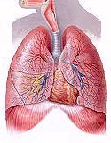 Respiration System, Human Lungs, Anatomy Models